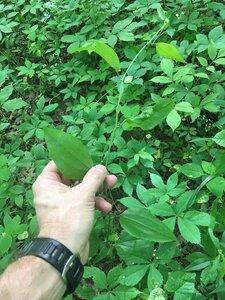 Smilax rotundifolia - Joey Shaw