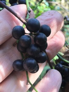 Smilax rotundifolia - Joey Shaw