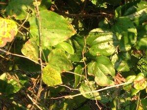 Smilax rotundifolia - Milo Pyne