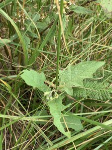 Solanum carolinense var. carolinense - Dwayne Estes