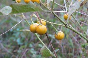 Solanum carolinense var. carolinense - Milo Pyne