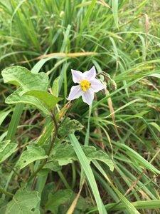 Solanum carolinense var. carolinense - Theo Witsell