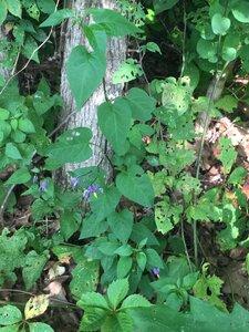 Solanum dulcamara - Tara Littlefield