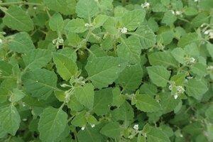 Solanum sarrachoides - Milo Pyne