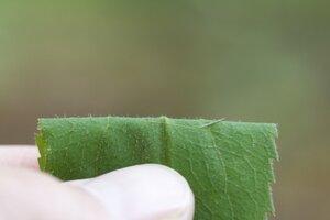 Solidago flaccidifolia - Dwayne Estes