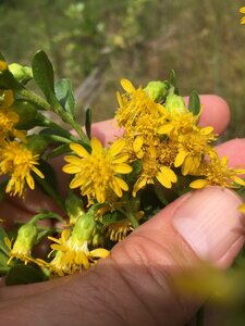 Solidago rigida ssp. glabrata - Dwayne Estes