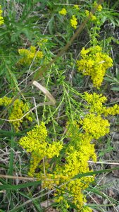 Solidago shortii - Tara Littlefield