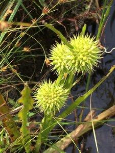 Sparganium americanum - Dwayne Estes