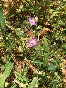Spergularia rubra - Tara Littlefield