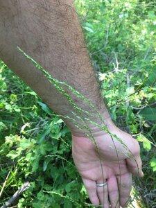 Sphenopholis nitida - Dwayne Estes