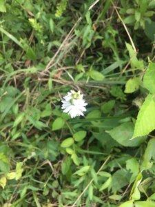 Spiranthes vernalis - Tara Littlefield