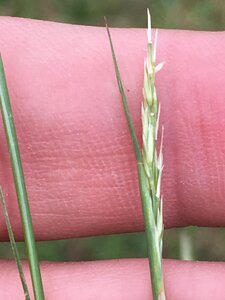 Sporobolus vaginiflorus - Dwayne Estes