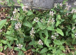 Stachys floridana - Milo Pyne