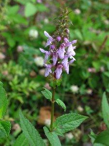 Stachys tenuifolia - Milo Pyne