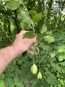 Staphylea trifolia - Dwayne Estes
