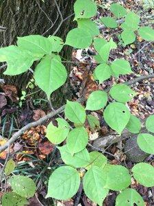Staphylea trifolia - Joey Shaw