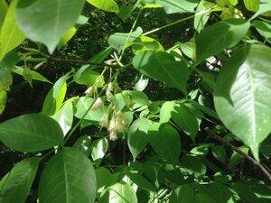 Staphylea trifolia - Milo Pyne