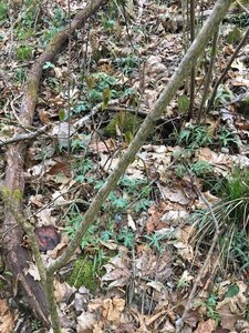 Staphylea trifolia - Tara Littlefield
