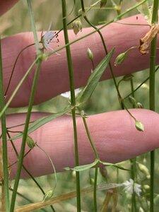 Stellaria graminea - Dwayne Estes