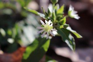 Stellaria pubera - Ashley B. Morris