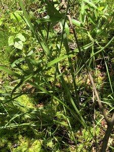 Stenanthium leimanthoides - Milo Pyne
