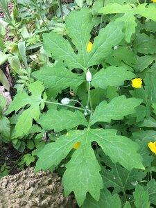 Stylophorum diphyllum - Dwayne Estes