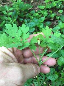 Stylophorum diphyllum - Joey Shaw