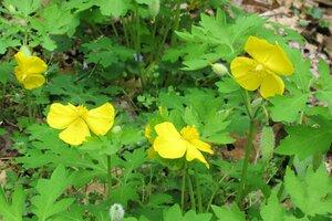 Stylophorum diphyllum - Milo Pyne