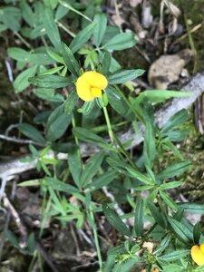 Stylosanthes biflora - Milo Pyne
