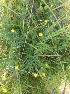 Stylosanthes biflora - Tara Littlefield