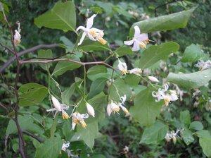 Styrax americanus var. americanus - Tara Littlefield