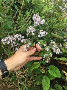 Symphyotrichum cordifolium - Joey Shaw