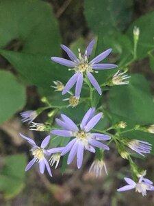 Symphyotrichum cordifolium - Tara Littlefield