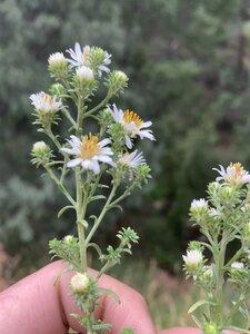 Symphyotrichum ericoides var. ericoides - Dwayne Estes
