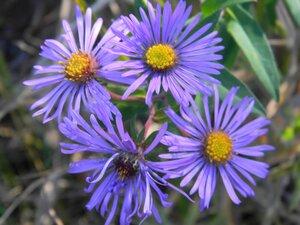 Symphyotrichum novae-angliae - Dwayne Estes