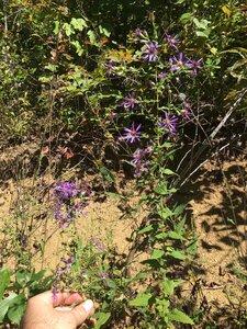 Symphyotrichum phlogifolium - Dwayne Estes