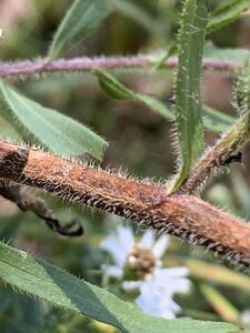 Symphyotrichum pilosum - Dwayne Estes