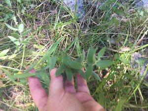 Symphyotrichum pratense - Tara Littlefield