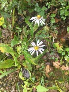Symphyotrichum prenanthoides - Tara Littlefield