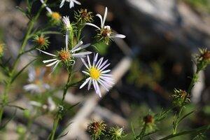 Symphyotrichum priceae - Ashley B. Morris