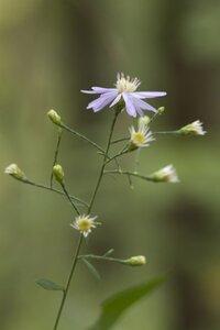 Symphyotrichum shortii - Dwayne Estes