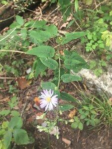 Symphyotrichum shortii - Tara Littlefield