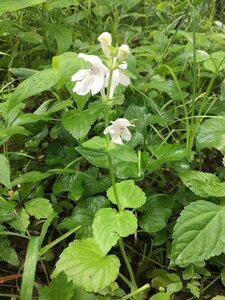 Synandra hispidula - Tara Littlefield