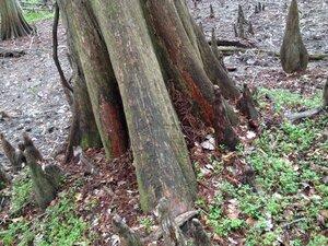 Taxodium distichum - Milo Pyne