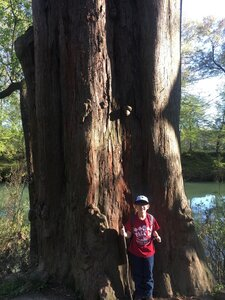 Taxodium distichum - Theo Witsell