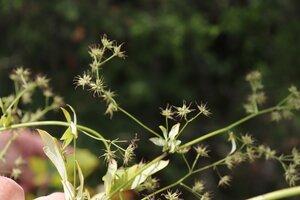Thalictrum pubescens - Ashley B. Morris