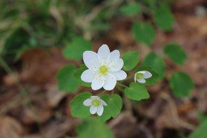 Thalictrum thalictroides - Ashley B. Morris