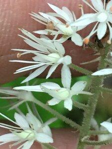 Tiarella cordifolia - Joey Shaw