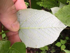 Tilia americana var. heterophylla - Joey Shaw
