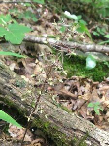 Tipularia discolor - Tara Littlefield